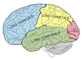 Ricerca, il cervello continua a crescere da adulti